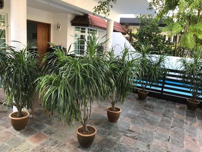 DRACAENA plants (5 pots)