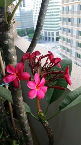 Frangipani tree 2m tall dark pink flowers for sale in rochester frangipani tree 2m tall dark pink flowers mightylinksfo