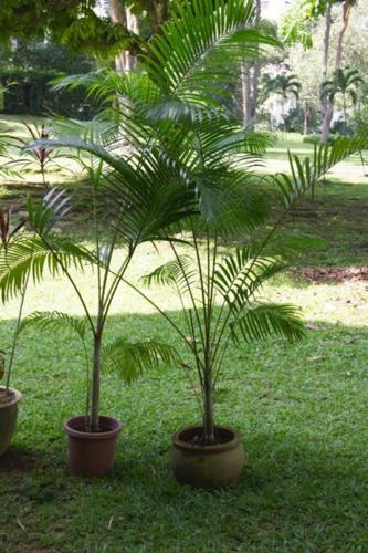 POTTED PALMS -PAIR