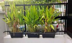 3 large rectangle potted plants with birds of paradise