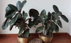 All 3 pots, beautiful rubber plant, original price $150