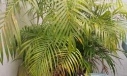 Big Potted Palm Tree Plant. Pick up and delivery to