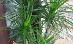 Letting go a matured and healthy Dracaena Marginata