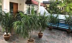 5 DRACAENA plants bought from florist in 2015 for a