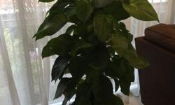 2 potted plants for sale Money plant. 1.6m tall in good