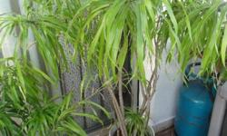 Beautiful plant, very healthy, great on balcony, will