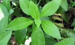 Description 4 inch potted of Gynura Procumbens Miracle