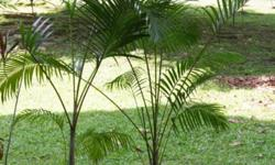 A pair of potted palms for sale, perfect for patios &