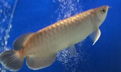 hi i am selling my rtg with cert and green arowana both
