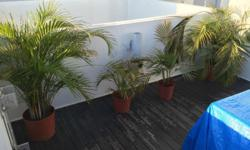 Set of 4 ferns. 2 Medium sized and 2 smaller. A bit of